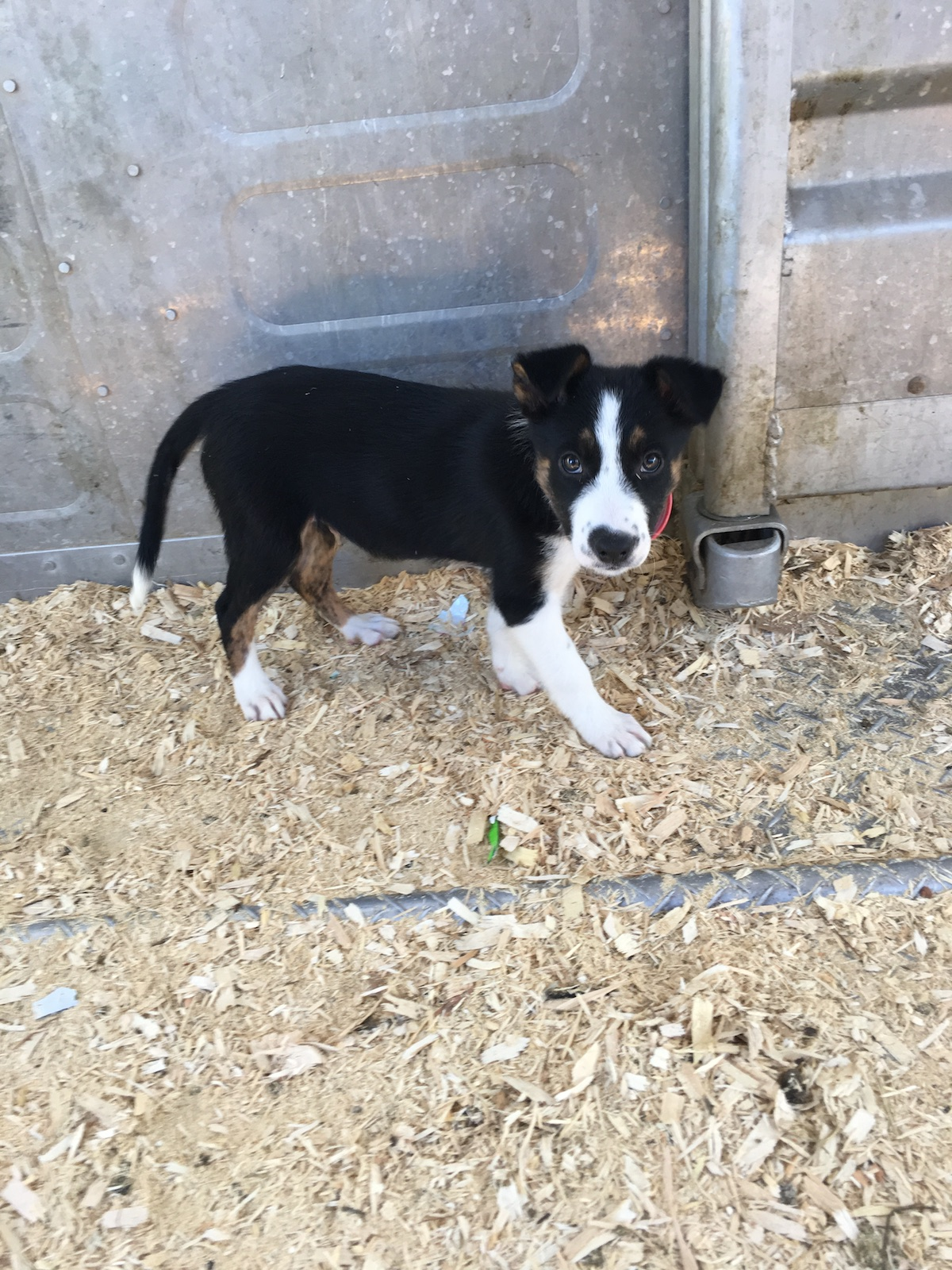 Smooth Coated Border Collie Puppies For Sale